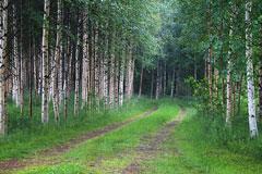 birch forest in Finland